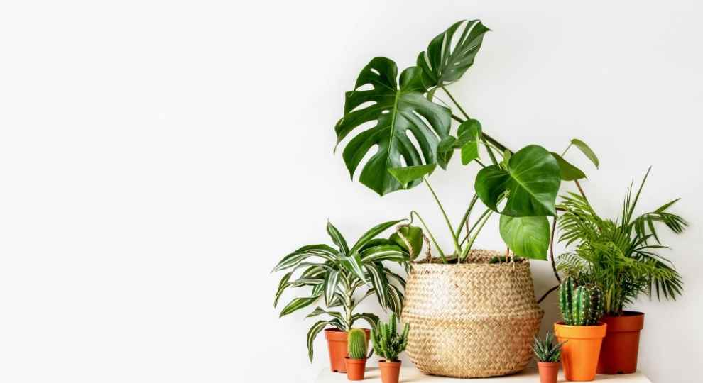 Ways of Propagating Monstera aka Swiss Cheese Plant